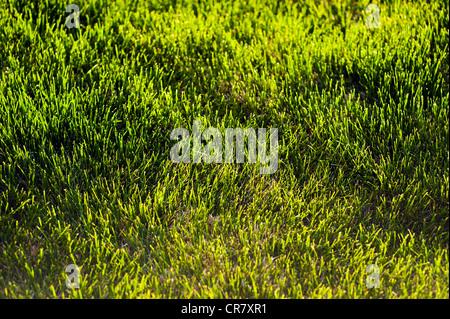 gazon herbe vert pelouse de cour banque d 39 images photo. Black Bedroom Furniture Sets. Home Design Ideas