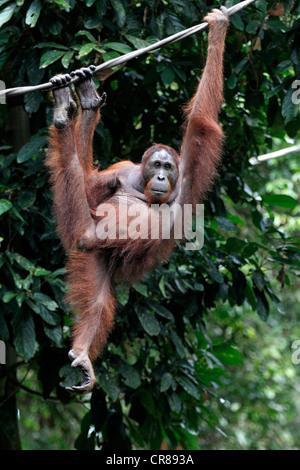 Orang-outan (Pongo pygmaeus), adulte, femme, sur une liane, Centre de réhabilitation de Sepilok, Sabah, Bornéo, Banque D'Images