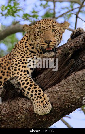 Leopard (Panthera pardus), des profils sur un arbre, le repos, portrait, Sabi Sabi Game Reserve, Kruger National Park, Afrique du Sud