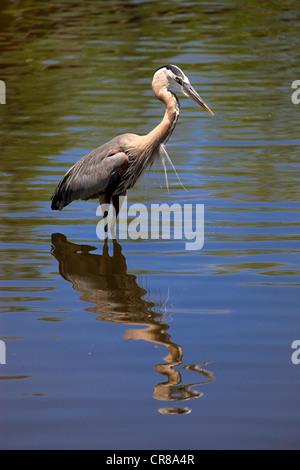 Grand héron (Ardea herodias) adulte, dans l'eau, de nourriture, Florida, USA Banque D'Images