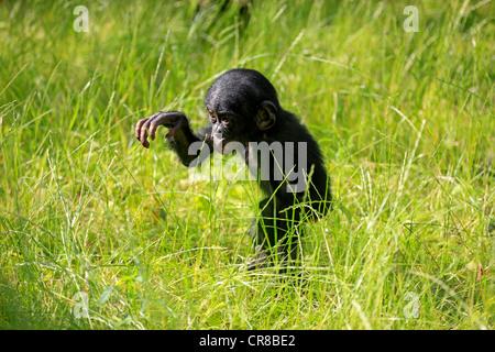 Bonobo ou chimpanzé nain (pan paniscus), juvénile, l'Afrique Banque D'Images