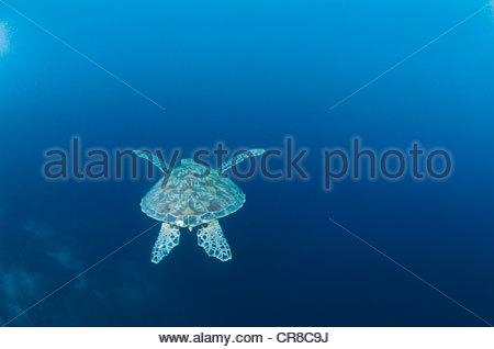 Tortue de mer verte, Îles Galápagos Banque D'Images