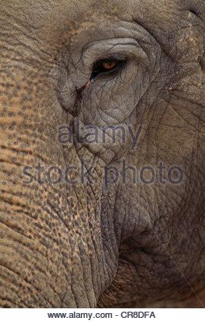 L'éléphant d'Asie, originaire du sud de l'Asie. Banque D'Images