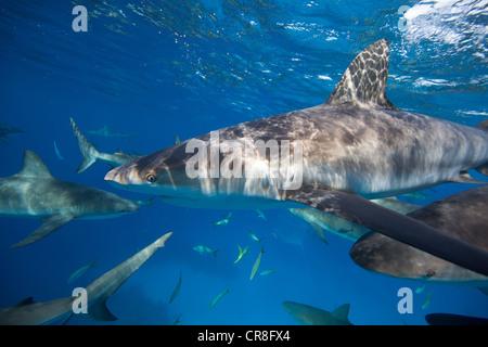 Frénésie de requins de récifs des Caraïbes Banque D'Images
