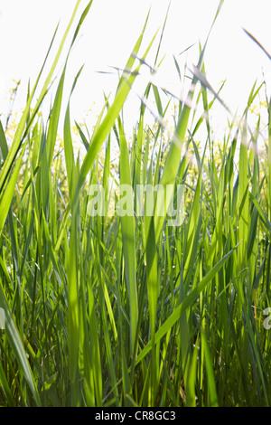 Brins d'herbe dans la lumière du soleil