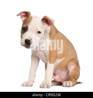 American Staffordshire Terrier puppy, 2 mois, standing against white background