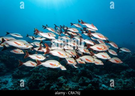 L'École de Vivaneaux rouges à bosse (Lutjanus gibbus) parking en face du récif de corail, Grande Barrière de Corail Banque D'Images
