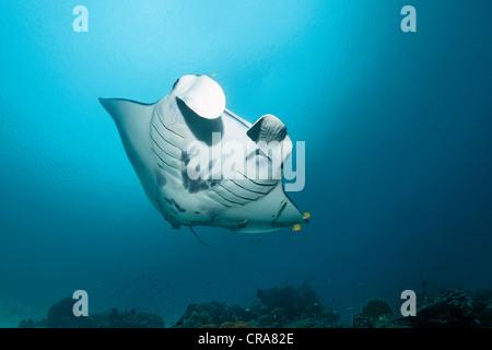 Manta (Manta birostris) nager au-dessus d'une barrière de corail, Grande Barrière de Corail, site du patrimoine Banque D'Images