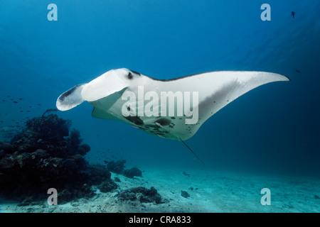 Manta (Manta birostris) nager au-dessus d'une barrière de corail vers une station de nettoyage, Grande Barrière Banque D'Images