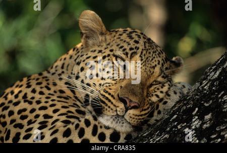 Leopard (Panthera pardus), sabi sabi, parc national Kruger, Afrique du Sud, l'Afrique Banque D'Images