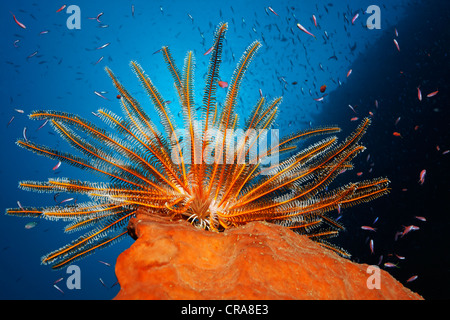 Feather Star (Dichometra flagellata) assis sur une éponge, la pêche pour le plancton avec ses armes en plumes, entouré Banque D'Images