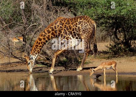 Girafe (Giraffa camelopardalis), de l'alcool au point d'eau, Kruger National Park, Afrique du Sud Banque D'Images