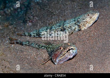 Lizardfish atlantique (Synodus synodus), deux poissons dans le sable, Madeira, Portugal, Europe, de l'Atlantique, Banque D'Images