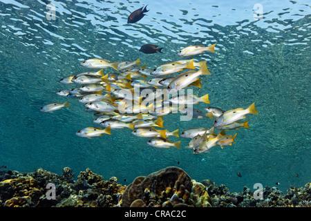 Banc de vivaneaux-blackspot (Lutjanus ehrenbergii) nager au-dessus d'un récif haut, Sharp Malahi, Egypte, Mer Rouge, Banque D'Images