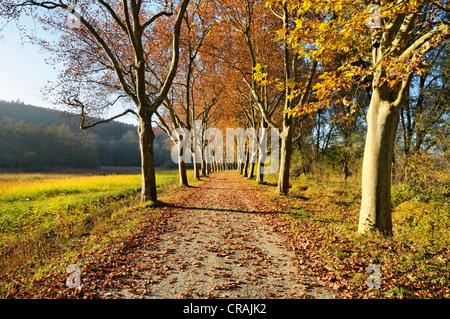 Route bordée d'arbres, platanes (Platanus) en automne, district de Konstanz, ou Constance, Bade-Wurtemberg, Allemagne, Banque D'Images