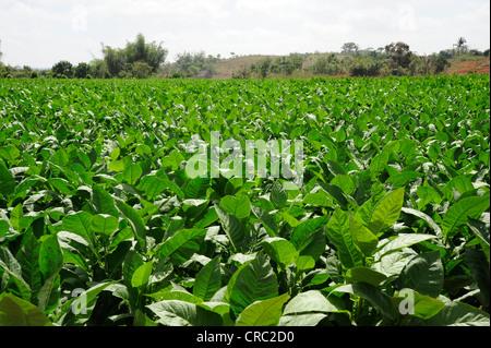 Les feuilles de tabac, plante de tabac (Nicotiana), plantation de tabac, de l'agriculture dans la Vallée de Viñales national park