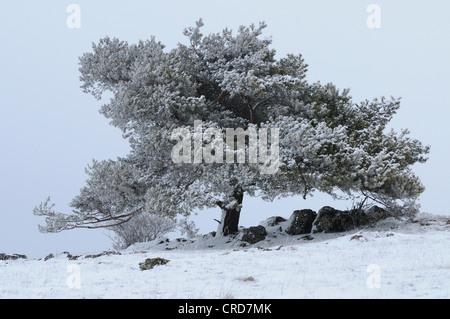 Le pin sylvestre (Pinus sylvestris) en paysage d'hiver Banque D'Images