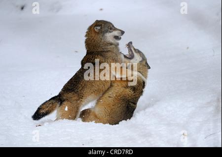Deux loups (Canis lupus) dans la lutte contre la neige Banque D'Images