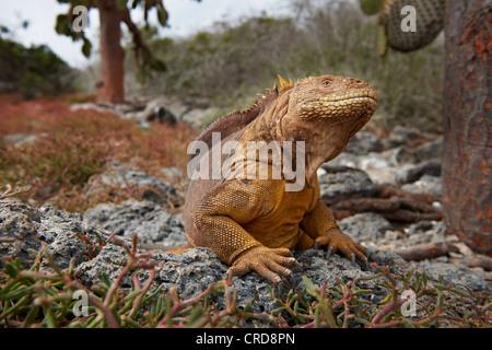 Iguane terrestre des Galapagos (Conolophus subcristatus), l'île South Plaza, îles Galápagos