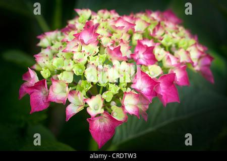 Une fleur de rose hortensia (Hydrangea macrophylla). Fleur d'hortensia (Hydrangea macrophylla). Banque D'Images