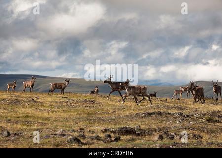 Le Caribou ou le renne (Rangifer tarandus), troupeau à la route du sommet du monde, au Canada, en Amérique du Nord Banque D'Images