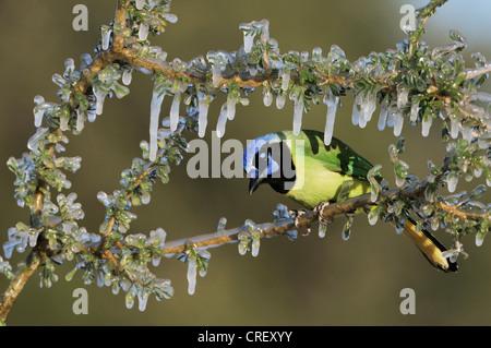 (Cyanocorax yncas Jay vert), des profils sur couvert de glace, direction générale de Dinero, Lake Corpus Christi, Banque D'Images
