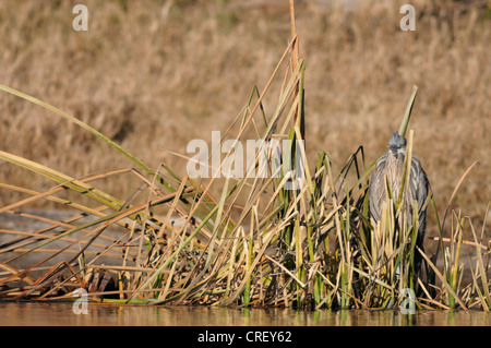 Grand Héron (Ardea herodias), camouflés dans des roseaux, immatures Dinero, Lake Corpus Christi, Texas, États-Unis Banque D'Images