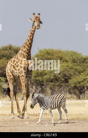Girafe (Giraffa camelopardalis) et le zèbre de Burchell (Equus quagga) dans le Parc National d'Etosha, Namibie. Banque D'Images