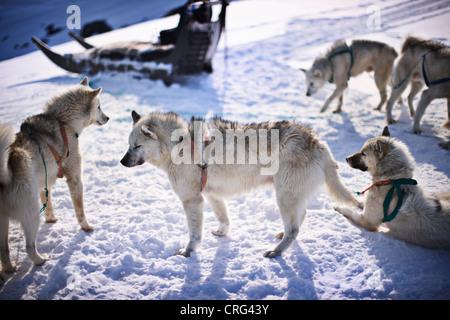 Détente dans la neige les chiens de traîneau Banque D'Images