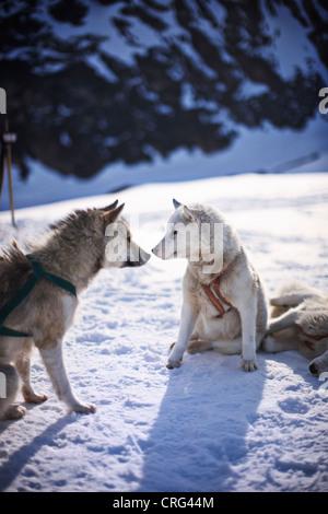 Toucher les chiens de traîneau dans la neige nez Banque D'Images
