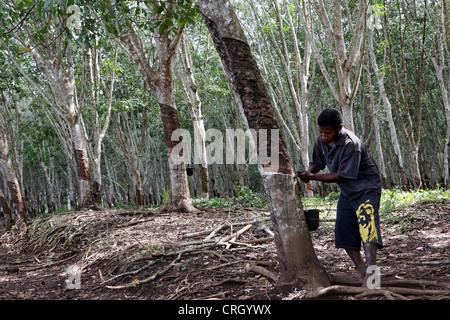 L'extraction du latex de l'hévéa, Province du Centre, la Papouasie-Nouvelle-Guinée Banque D'Images