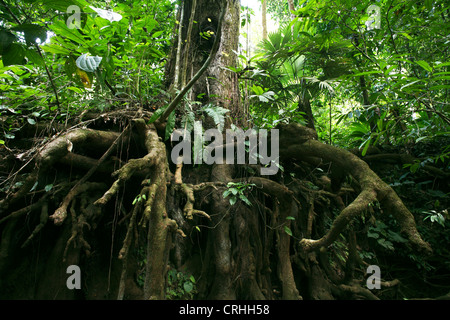 Exposés des racines d'arbre en forêt tropicale. Parc national de Corcovado, péninsule d'Osa, au Costa Rica. Mars Banque D'Images