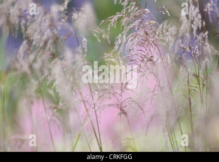 Caerulea molinie, Purple Moor Grass Banque D'Images