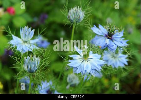 Fleurs de nigelle Nigella damascena Love-dans-le-mist