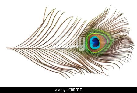 Plume de paon sur fond blanc dentelle [coupé] Banque D'Images