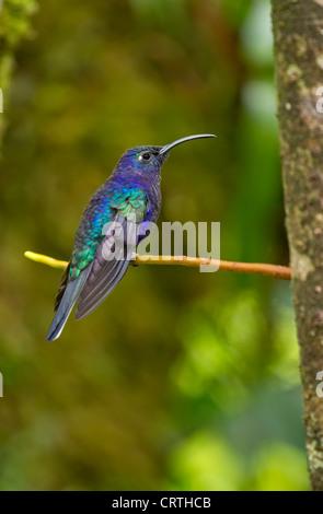 Oiseau-colibris violet mâle perché sur une branche arborescente, Costa Rica