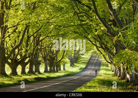 Circonscription cycliste le long d'une belle route de campagne bordée de hêtres, Wimborne, Dorset, Angleterre. Printemps Banque D'Images