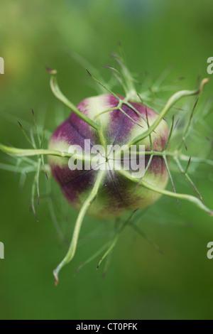 Nigella damascena. L'amour dans un brouillard les coupelles de semences