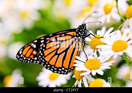 Papillon monarque colorés assis sur fleurs de camomille Banque D'Images