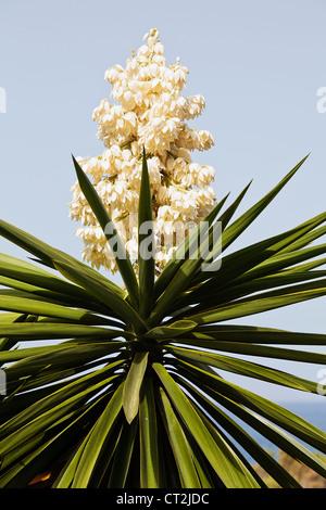Yucca filamentosa, communément appelé Adam's needle en fleur Banque D'Images