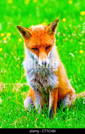 Jeune européen Fox (Vulpes vulpes), assis, Pembrokeshire, Pays de Galles, Royaume-Uni Banque D'Images