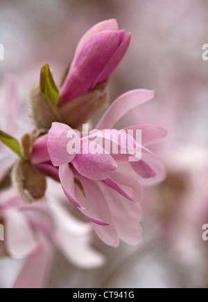 Magnolia x loebneri 'Leonard Messel', fleur rose et de l'ouverture des bourgeons sur un arbre.