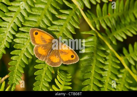 Gatekeeper Pyronia tithonus pèlerin mâle sur Bracken à Arnside Knott, Cumbria en juillet. Banque D'Images