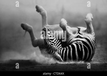 Zebra roulant sur le sable blanc poussiéreux (traitement artistique) Etosha National Park - Namibie Banque D'Images