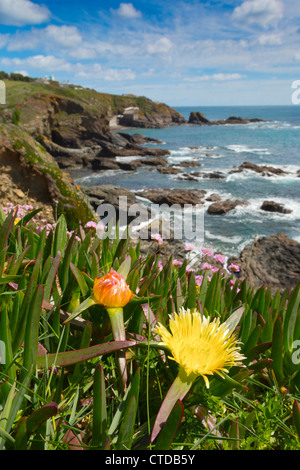 Le cap Lizard, Hottentot fig en fleur ; Cornwall, UK Banque D'Images