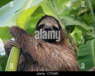 Trois-toed sloth dans un bananier, Costa Rica