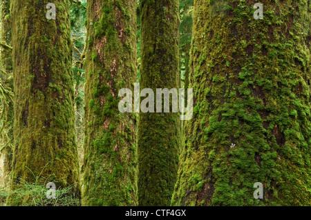 Dans la forêt moussue Stillaguamish River Valley, le mont Baker-Snoqualmie National Forest, North Carolina, USA Banque D'Images