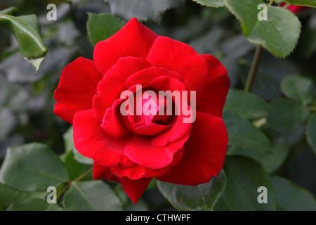 Gros plan d'une fleur rose Banque D'Images