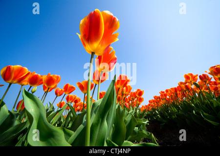 Tulipes aux Pays-Bas Holland tulips tulipes Hollandaises Rangées de tulipes rouge jaune orange vif dans un champ Banque D'Images