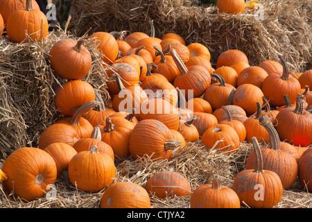 Pumpkins sur l'affichage USA Banque D'Images